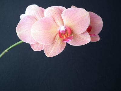 Rosa Orchidee - Blüte auf schwarzem Grund