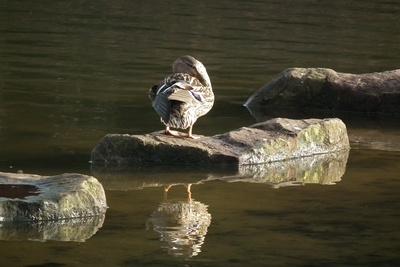 Ente auf dem Stein spiegelt sich im See