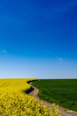 Spazierweg am Rapsfeld 04