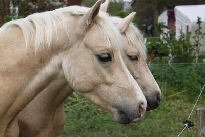 Ponys auf Föhr