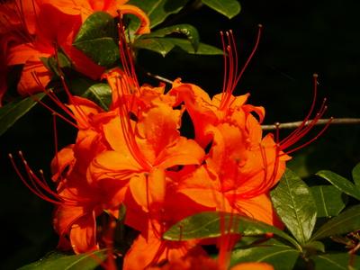 Rhododendronblüten rotorange
