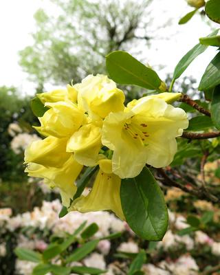 Im Reich der Rhododendren / 2