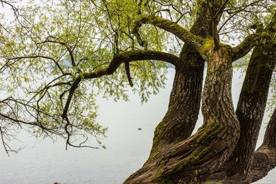 Weidengrün am See