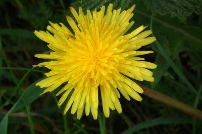 Strahlend gelbe Blüte vom Löwenzahn