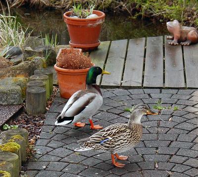 Besuch (Wildenten an unserem Teich)