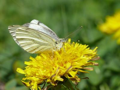 Ein letzter Schmetterling im Herbst