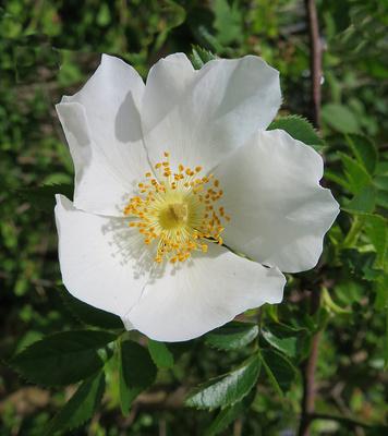Weisse Hagebuttenblüte