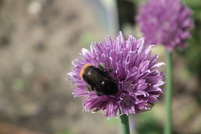 Hummel nascht an lila Schnittlauchblüte 1
