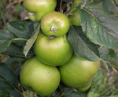 Grüne Äpfel am Baum - Säulenobst 3