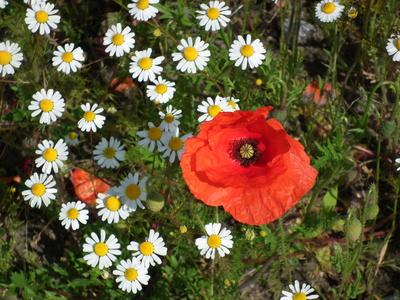 Rote Klatschmohnblüte inmitten von Kamille