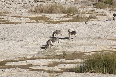 Wildesel im Wadi