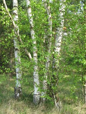 Vier weiße Birken