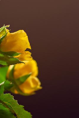 Rose , gelb