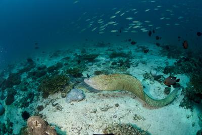Freischwimmende Muräne