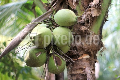Kokosnuss 1