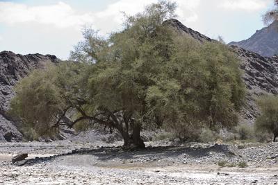 Uralte Weide im Wadi