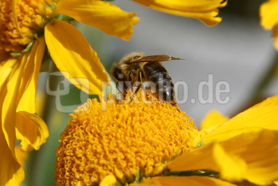 Biene auf Sonnenbraut