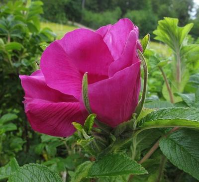 Blühende Heckenrose