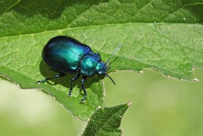 ein blauschillernder Blattkäfer