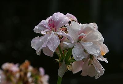 geranien