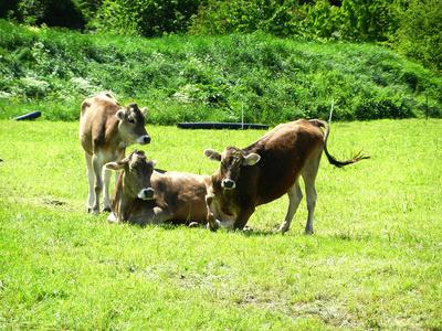 Drei Kühe auf der Wiese