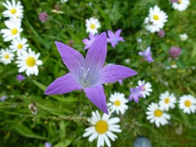 Glockenblume im Gänseblümchenbett