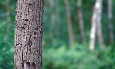 Baum mit Wald in Unschärfe