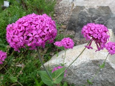 Pinkfarbene Blütenbälle