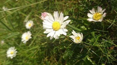 Gänseblümchen / Gänseblume Wiese im Frühjahr