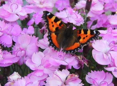 Kleiner Fuchs auf lila Nelken 2