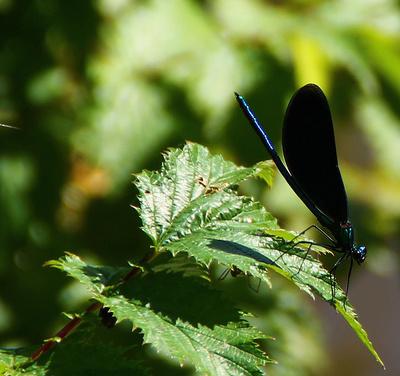Blaufluegel-Prachtlibelle 02