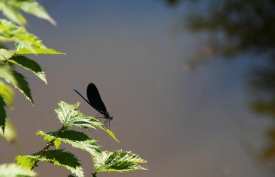 Blaufluegel-Prachtlibelle 03