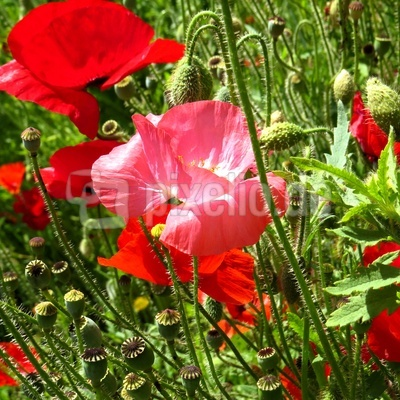 Rosa und roter Mohn