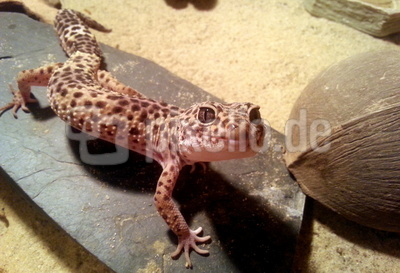 "Leopardgecko ""Smily"""