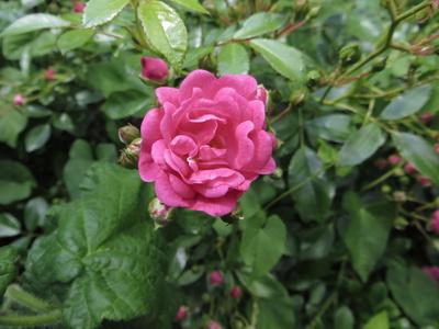 "Rose ""Pink Fairy"""