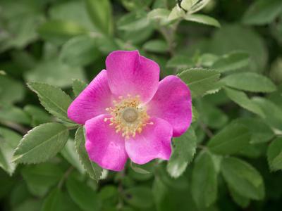 Rosa Wildblume