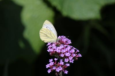 Schmetterling bei der Nahrungsaufnahme