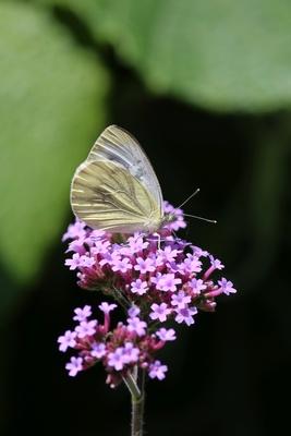 Schmetterling bei der Nahrungsaufnahme 2