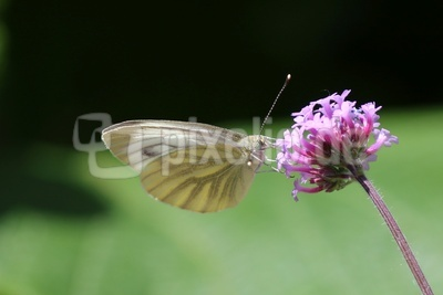 Schmetterling bei der Nahrungsaufnahme 3
