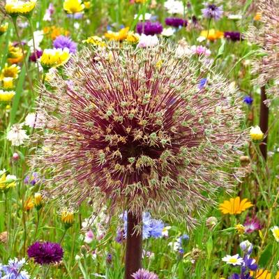 Prächtige Blütenkugel