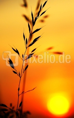 Gras im Sonnenuntergang