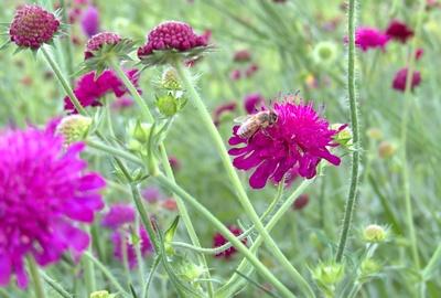Violett blühend 1