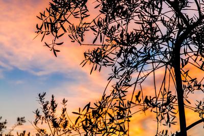 Olivenbaum im Abendrot