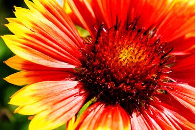 Kokardenblume ganz nah