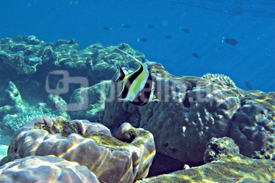 Halfterfisch