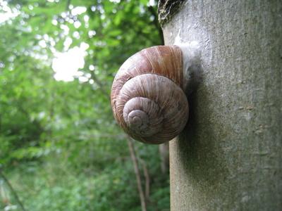 Weinbergschnecke am Baum