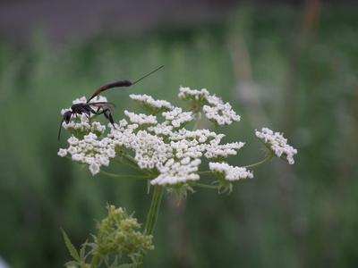 Schlupfwespe auf weißer Blüte