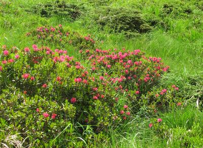 Alpenrosenfelder im Bedrettotal