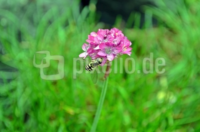 Blüte mit Insekt 2
