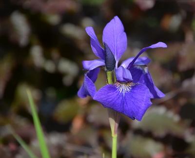 Iris / Schwertlilie